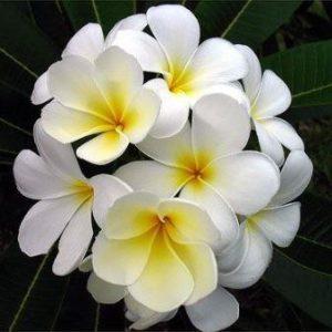 Image: Plumeria Flower